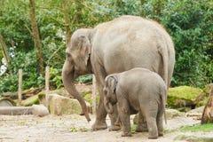 Junger asiatischer Elefant Lizenzfreies Stockfoto
