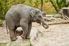 Junger asiatischer Elefant Stockfotos