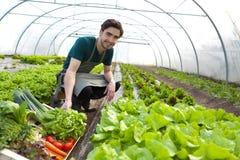 Junger attraktiver Landwirt, der Gemüse erntet stockfotografie