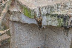 Junger Baby-Mandrill-Affe, der an Artis-Zoo Amsterdam die Niederlande spielt Stockfotografie