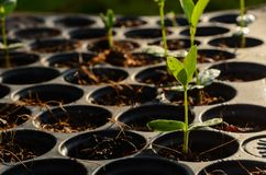 Junger Babykraut-Betriebssämling auf schwarzem pflanzendem Behälter stockbilder