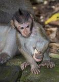 Junger Balinese-langschwänziger Affe Stockfotografie