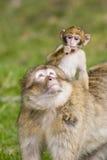 Junger Barbary-Affe auf Müttern ziehen sich zurück Lizenzfreie Stockfotos