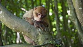 Junger Barbary-Affe, der auf einer Niederlassung sitzt Lizenzfreie Stockbilder