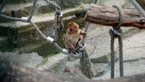 Junger Barbary-Makaken Lizenzfreies Stockbild