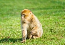 Junger Barbary-Makaken im Gewann Stockbilder