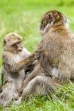 Junger Barbary-Makaken u. x28; Macaca sylvanus& x29; pflegender erwachsener Mann Lizenzfreie Stockfotografie