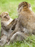 Junger Barbary-Makaken u. x28; Macaca sylvanus& x29; pflegender erwachsener Mann Lizenzfreies Stockbild