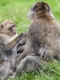 Junger Barbary-Makaken u. x28; Macaca sylvanus& x29; pflegender erwachsener Mann Stockfotografie