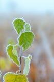 Junger Baum auf einem Frost. Stockfotos