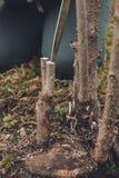 Junger Baum des G?rtnerschnittes f?r die Verpflanzung des jungen Obstbaumes auf frischem Stumpf stockfotografie