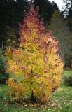Junger Baum im Herbst Lizenzfreies Stockbild