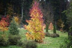 Junger Baum im Herbst Stockbild