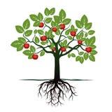 Junger Baum mit grünen Blättern, Wurzeln und roten Äpfeln Stockfoto