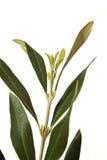 Olivgrüner Baumast Stockbild