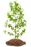 Junger Birkenbaum Stockfoto
