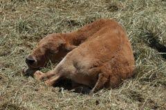 Junger Bison stockfotos