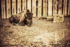 Junger Bison Stockfoto