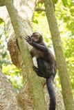 Junger blach capouchin Affe Stockbild
