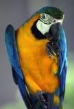 Junger blauer und gelber Keilschwanzsittich Lizenzfreies Stockfoto