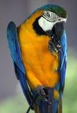 Junger blauer und gelber Keilschwanzsittich Lizenzfreies Stockbild