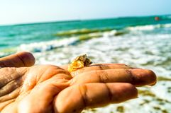 Junger Blick der Seekrabbe an Hand, der klein und in der Hand versteckt worden sein würden Stockbild