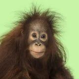 Junger Bornean-Orang-Utan, der die Kamera, Pongo pygmaeus betrachtet Lizenzfreie Stockfotos