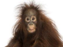 Junger Bornean-Orang-Utan, der, Pongo pygmaeus beeindruckt schaut Stockfotografie