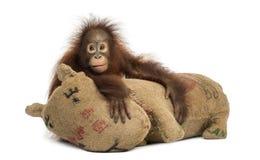 Junger Bornean-Orang-Utan, der seine Leinwand umarmt, füllte Spielzeug an Stockfotografie