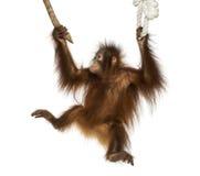 Junger Bornean-Orang-Utan, der an zu einer Niederlassung und zu einem Seil hängt Stockbild