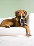 Junger Boxer, der auf weißem Stuhl stillsteht lizenzfreies stockbild