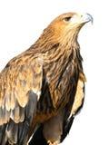 Junger brauner Adler, der auf einem Support getrennt sitzt Stockfotografie