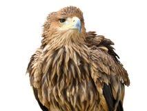 Junger brauner Adler, der auf einem Support sitzt Lizenzfreies Stockbild