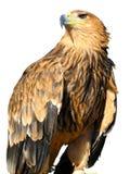 Junger brauner Adler, der auf einem Support sitzt Stockfotos