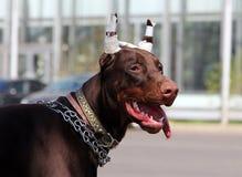Junger brauner Dobermannhund mit den geernteten Ohren Lizenzfreie Stockfotos