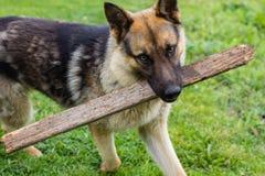 Junger brauner Hund, der mit hölzernem spielt stockbild