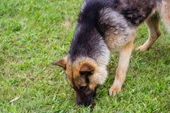 Junger brauner Hund, der mit hölzernem Stock spielt lizenzfreie stockfotos