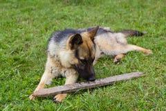 Junger brauner Hund, der mit hölzernem Stock spielt lizenzfreies stockfoto