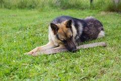 Junger brauner Hund, der mit hölzernem Stock spielt stockfoto