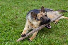 Junger brauner Hund, der mit hölzernem Stock spielt stockfotos