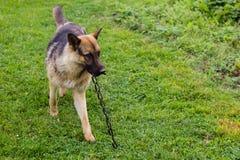 Junger brauner Hund, der mit hölzernem Stock spielt stockfotografie