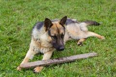 Junger brauner Hund, der mit hölzernem Stock spielt lizenzfreies stockbild