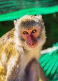 Junger Brown-Affe in Vietnam Lizenzfreies Stockfoto