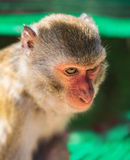 Junger Brown-Affe in Vietnam Lizenzfreies Stockbild