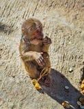 Junger Brown-Affe in Vietnam Stockbild