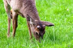 Junger Buck In Smoky Mountains Lizenzfreie Stockbilder