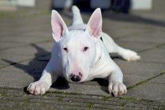 Junger Bull-Terrier. Stockfotos