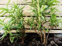 Junger Busch des wohlriechenden Rosmarins Herein früh gepflanzt lizenzfreie stockfotografie