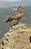 Junger Bussard, der auf dem Felsen stillsteht Lizenzfreie Stockbilder