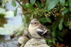 Junger Chaffinch, der allein auf Felsen steht Lizenzfreie Stockfotos